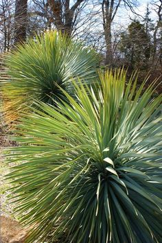 Pin by Jill Thompson on Flower Bed | Pinterest | Yucca filamentosa ...
