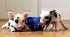 I absolutely adore the tea cup pigs, but they do actual grow to be bigger than what the breeders say. A lot of these poor little love bugs end up in shelters or homeless because the owner decides they can't have an 80+lb pig in their home.