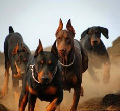 doberman herd,lol. Look at the one guy with cute natural ears :-)    and dem feets!! so big!