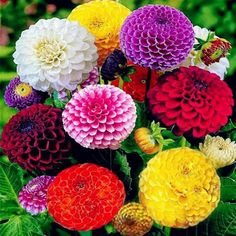 This is for 50 Dahlia Pom Pom Mix seeds these get to be about to tall. This is a good mix of colors if you are looking for growing a showy display of dahlia. These grow well from seeds and can be planted in pots also they are a annual. Beautiful Flowers, Bulb Flowers, Flowers, Dahlia, Wonderful Flowers, Flower Arrangements, Plants, Planting Flowers, Zinnias