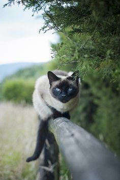 Siamese cat - seal point!