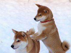 I always post Shiba Inus when I'm sad so here's a Shiba Inu giving another shiba a back rub Shiba Inu, Chien Akita Inu, Shiba Puppy, Akita Dog, Cute Baby Animals, Animals And Pets, Funny Animals, Baby Dogs, Pet Dogs