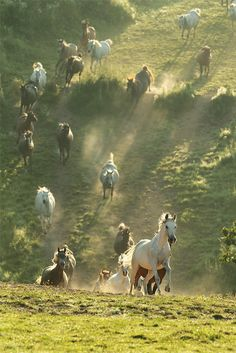 Wild horses jump a hedge as they gallop across country.