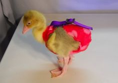 Dinah in Red Hearts Diaper Pet Ducks, Baby Ducks, Backyard Chicken Coops, Chickens Backyard, Chicken Diapers, Duckling Care, Duck Diapers, Chicken Saddle, Diaper Holder