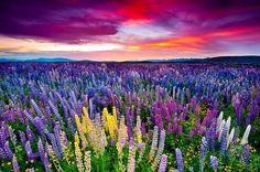 The Russell Lupins Field - near Lake Tekapo, New Zealand. Photo ...
