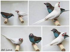 White Cordon Bleu Finch