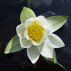 ヒツジグサの花