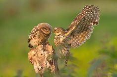 -m-.....Athene Noctua.       Mother feeding her baby.....
