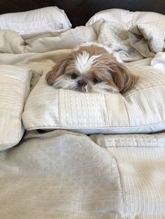 All About Smart Shih Tzu Puppies HealthYou can find Shih tzu and more on our website.All About Smart Shih Tzu Puppies Health Shitzu Puppies, Cute Puppies, Cute Dogs, Dogs And Puppies, Doggies, Shih Tzus, Shih Tzu Puppy, Sweet Dogs, Baby Dogs