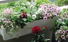 Balkonblumen richtig einpflanzen - Ein schöner Balkonkasten erfreut uns die ganze Saison hindurch. MEIN SCHÖNER GARTEN-Redakteurin Susann Hayn zeigt Schritt für Schritt, wie man einen Blumenkasten richtig bepflanzt.