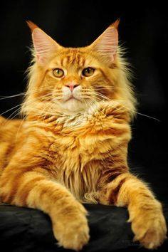 #mirmainecoon #coonblog #mainecoon #мейнкункотята #мейнкун #bigcat  #мейнкуны #мейн_кун #cat #cats #catsofinstagram #instacat #instagramanet  #instatag #catstagram  #catlover #catoftheday #catsagram #catlovers #caturday  #catlady #cathedral #catwang #catlove #catvalentine #catwalk #cats_of_instagram  #kitty #kitten #kittens #kittycat #kitties #kittensofinstagram #kittylove  #kittiesofinstagram #pet #pets #кот #котэ #котик #котики #котенок #котейка  #инстакот #инстаграманет #инстатаг #коты