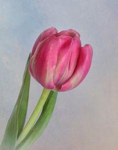 Title  Solitary Tulip   Artist  David and Carol Kelly   Medium  Photograph - Photograph