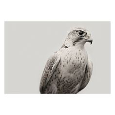 art lust / White Falcon by Troy Moth | THE MAMMOTH COLLECTION found on Polyvore featuring animals, photos, pictures, backgrounds and images