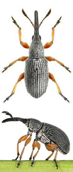 Rhopalapion longirostre