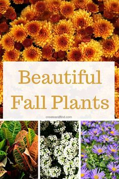 Amazing flowers to plant in the fall - annuals and perennials that will give your garden or yard beautiful color this fall planting season #createandfind #fallflowers #flowerstoplantinfall #flowers #gardening