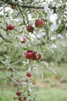 {<3} Apple picking at Bilpin NSW © Natasha Calhoun