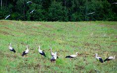 Litvánia • Kaunas County Domeikavos seniūnija Stork, Animals, Animales, Animaux, Animal Memes, Animal, Animais, Dieren, Heron