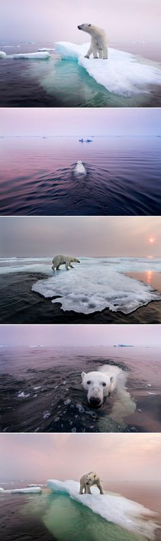 Polar bear, Manitoba, Canada - its looking bad for the bears. Beautiful Creatures, Animals Beautiful, Animals And Pets, Cute Animals, Baby Animals, Wild Animals, Polar Bear Images, Save The Polar Bears, Tier Fotos