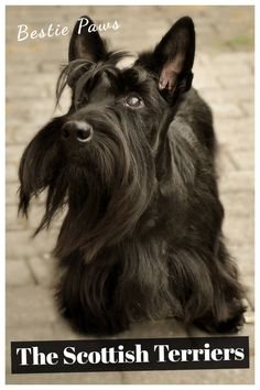 Are Scottish terriers good pets?