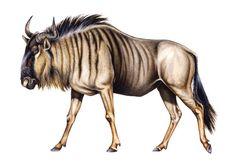 Wildebeest Illustration