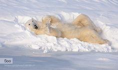 Polar Bear Chillaxin' by paul332. Please Like http://fb.me/go4photos and Follow @go4fotos Thank You. :-)