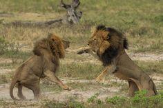 Hommage au roi de la savane - C'était Cecil le lion - Yahoo Actualités France