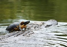 We hope you're enjoying your weekend as much as this turtle enjoyed his free ride! Amphibians, Reptiles, Forest Habitat, Bald Head Island, Bald Heads, Wildlife Photography, Habitats, Fresh Water, Alligators
