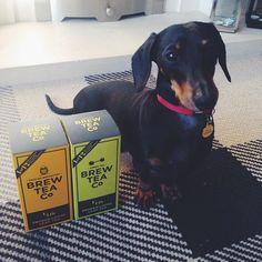 Hugo looks like an English Breakfast fan... #brewtime