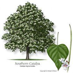 Catalpa tree, an important tree to wildlife in Texas