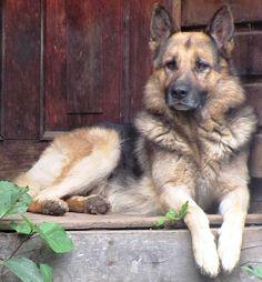 German shepherd/ pastor aleman