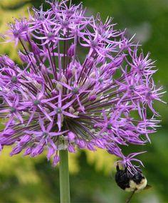 Allium jesdianum Early Emperor -- first bloomer. Tastes like onion.