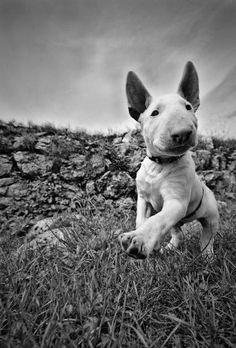 #Bull #Terrier. ~ Find more amazing #dog photos at: http://pinterest.com/HolidayHounds/amazing-dog-photos/