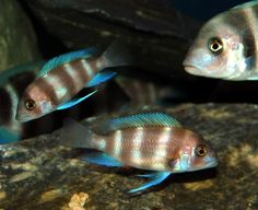 Cyphotilapia Frontosa Red