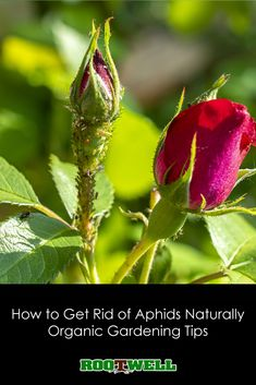 Aphids can be super pesky. Though they are small, they can wreak havoc on your garden if left uncontrolled. However, they can be controlled organically. Get Rid Of Aphids, Buy Ladybugs, Cucumber Beetles, Cedarwood Oil, Aromatic Herbs, Beneficial Insects, Neem Oil, Organic Gardening Tips