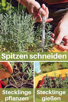 Die weichen Triebe von Lavendel sollten im Frühjahr geschnitten werden, damit d… The soft shoots of lavender should be cut in spring so that the plant does not become bare down. The perfect way to multiply the plants! Garden Care, Shade Garden, Garden Plants, Organic Gardening, Gardening Tips, Gardening Books, How To Propagate Lavender, Clean Out, Tree Pruning