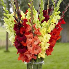 Gladiolus Sunset Mix. Enjoy all the colors of late summer in this exclusive mix of wine-red, crimson, orange and yellow.