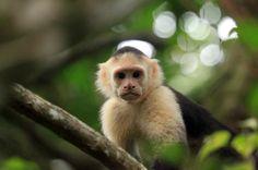 jungle beach hotel capuchin   - Costa Rica