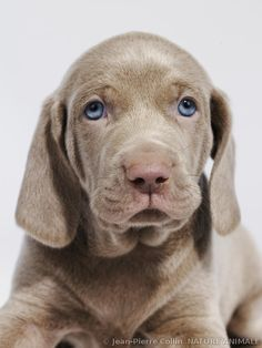 ♔Weimar puppy has blue eyes. They evolve during the first year, to green and then amber, the final color. ♔ photographe Jean-Pierre Collin ♔
