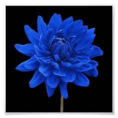Flor azul da dália