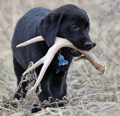 Buckshot the Labrador Retriever