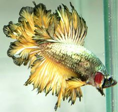 AquaBid.com - ***Feather ***HM-Male ***