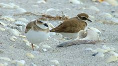 Observing Plovers in Florida
