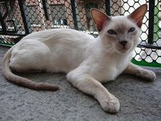 Siamese Cat | Cat Breed