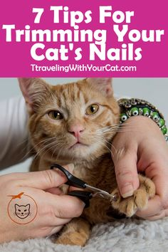 How to trim cat's nails without getting scratched? Is it really necessary to keep your cat's nails trimmed? A cat that spends a lot of time outdoors may need their claws for protection, and because… Trim Cat Nails, Cut Cat Nails, Cat Care Tips, Dog Care, Pet Tips, Cat Nail Clippers, Cat Claw Clippers, Chesire Cat, Orange Kittens