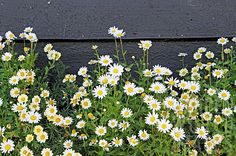 GKS1576- DAISIES GROWING AGAINST BLACK GARDEN FENCE : Asset ...