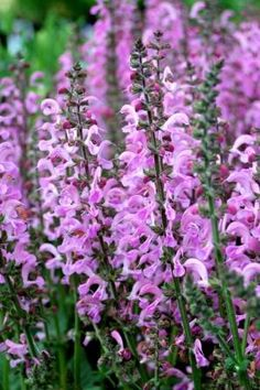 Salvia 'Sweet Sixteen' Salvia, Drought Tolerant, Sweet Sixteen, Perennials, Gardens, Nature, Flowers, Plants, Naturaleza