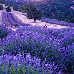 Lavanta tarlaları- Isparta Keçiborlu Kuyucak köyü