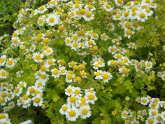 Feverfew 10 Aromatic Flower Plants that Fail to Attract Bees Chrysanthemum, Migraine, Yellow Flowers, Wild Flowers, Natural Insecticide, Succession Planting, Sun Perennials, Backyard Play, Yard Landscaping