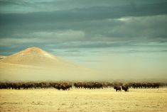 A herd of 2,400 buffalo roam free near Gillette, Wyoming, December 1979.Photograph by James L. Amos / National Geographic Found