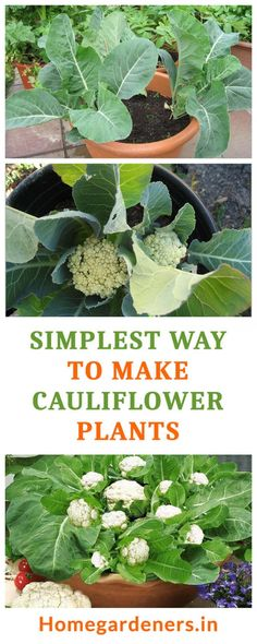 Growing cauliflower in container is an excellent way of propagating as it allows you to control and manipulate the growing factors. As the roots are fairly shallow it will not be constricted by the container side. Growing Cauliflower, Organic Fertilizer, Organic Gardening, Gardening Tips, Vegetable Gardening, Shade Perennials, Shade Plants, Shade Grass, Permaculture
